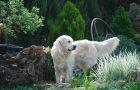 Pies Biszkopt